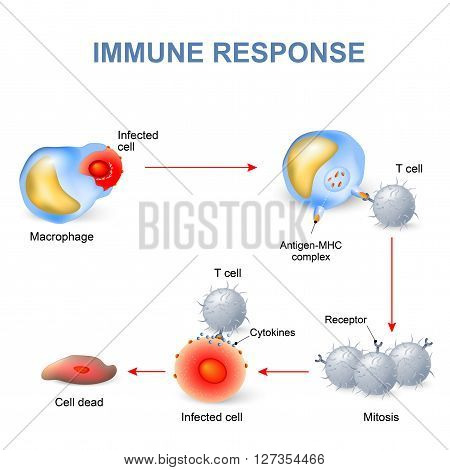 Cell-mediated immunity. T lymphocytes do not secrete antibodies. this response incorporates activated macrophages natural killer cells antigen-specific cytotoxic T-lymphocytes as well as release of cytokines.