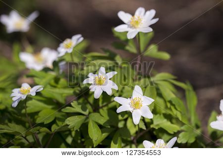 Group of Wood Anemone (Anemone nemorosa) flowering in a nature garden