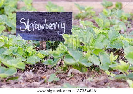 Strawberry sign in front of plants in vegetable patch. A handwritten painted sign in an English fruit garden surrounded by strawberries in Spring ** Note: Shallow depth of field