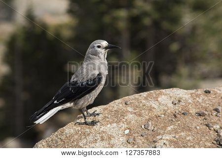 Clark's nutcracker bird standing on the edge of a cliff at Rocky mountains, Colorado, USA.