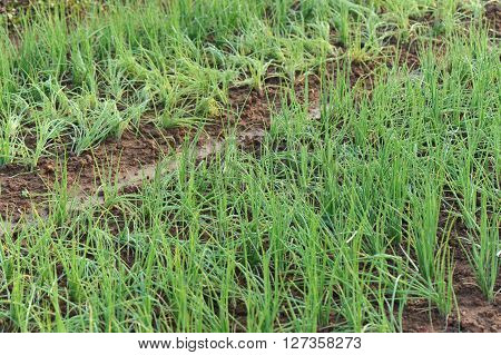 green spring onion in growth at garden
