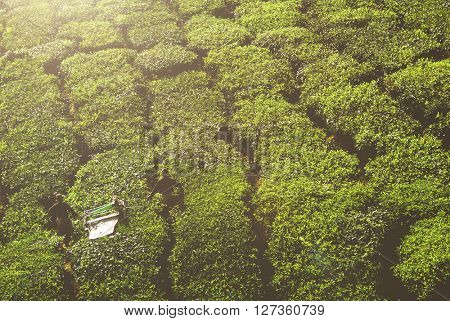 Pickers harvesting tea leaves.