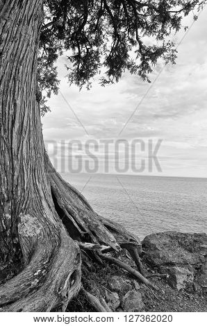 Black and White twisted tree on the shore of Lake Superior