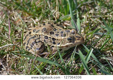 Close up of Leopard Frog in the grass
