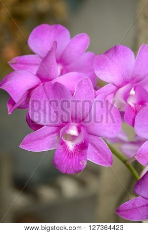 beautiful violet orchid flower in garden , Dendrobium Orchid