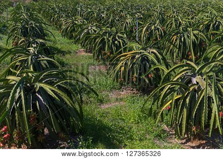 Dragon fruit or Pitaya Pitahaya plantation in Thailand Hylocer Undatus outdoors