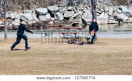 MISSISSAUGA CANADA - APRIL 04 2015: Two of the city's animal control officers try to capture an injured Canada Goose near Lake Ontario.