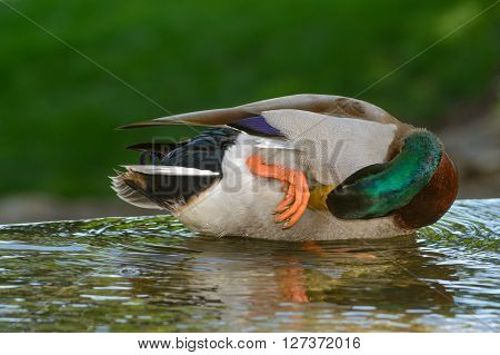 Green head mallard scratching itch with bill. Leg and orange web foot visable.