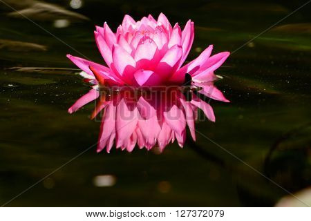 Single Pink Waterlily lotus flower with reflection floating in dark green pond