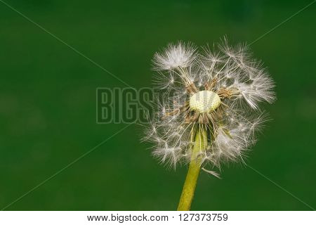 Dandelion Seed Blowball at Wind