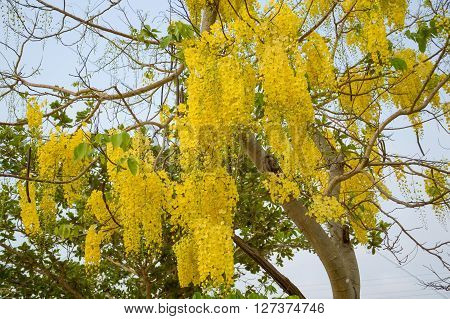 Golden shower flower in garden - Cassia fistula