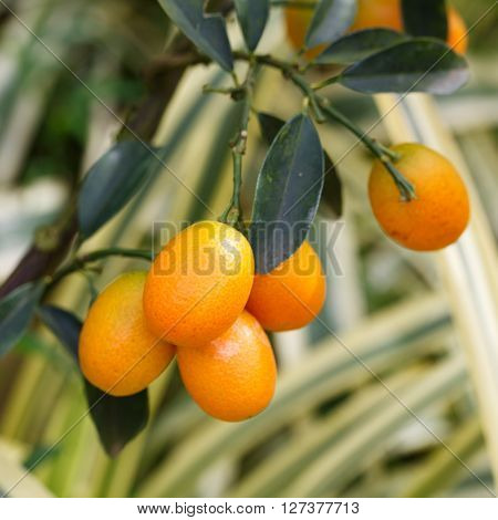 Orange Kumquat On The Tree