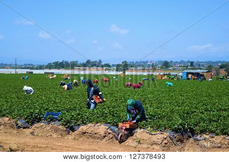 April 25, 2016 in Ventura, CA:  Migrant Workers picking strawberries at a strawberry Field where the strawberries will be sold as produce taken in Ventura, CA