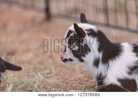 Black and white baby Nigerian dwarf goat with bright blue eyes at a small farm.