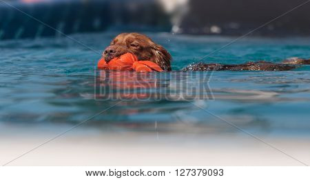 Golden retriever swims with a toy in a pool in summer.