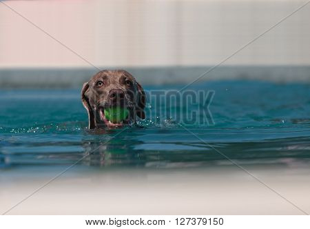 German shorthaired pointer swims with a toy in a pool in summer.