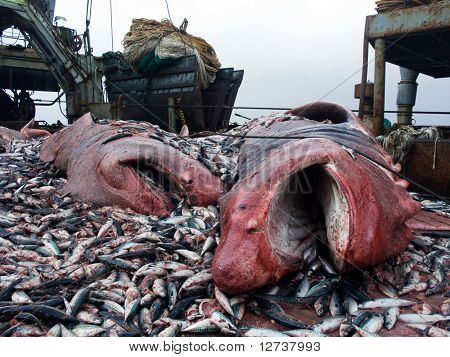sharks and crushed mackerel on deck factory vessel