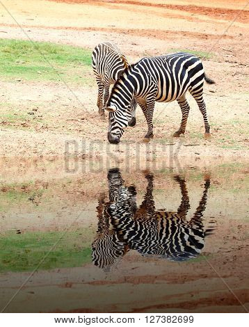 two small zebra eating grass on sandy soil with water reflection