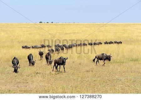 Wildebeest In National Park Of Kenya