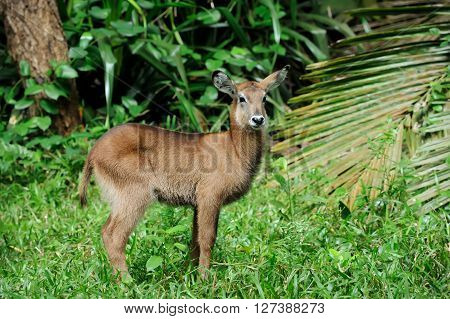 Waterbuck Baby In National Park Of Kenya