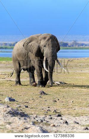 Elephant In National Park Of Kenya