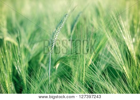 Unripe wheat (wheat field) - Green wheat field in spring