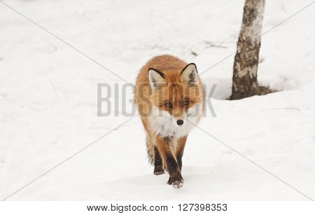 a european red fox walking towards the camera