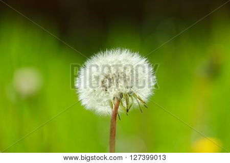 Sow thistle on nice green background in the sunny day