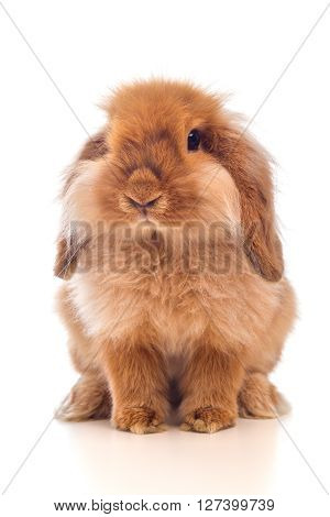 Little Lop-eared Rabbit Isolated On White Background