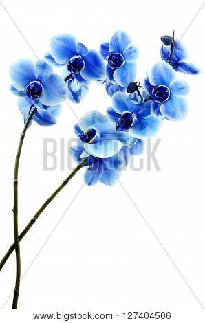 Orchid Blue Flower