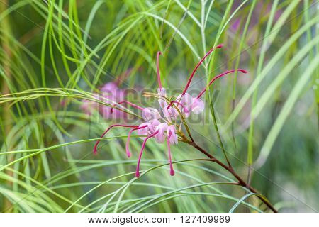 Tropical Blooming Spider Flower