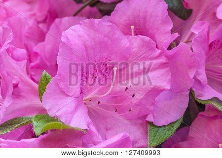Pink Rhododendron Flower