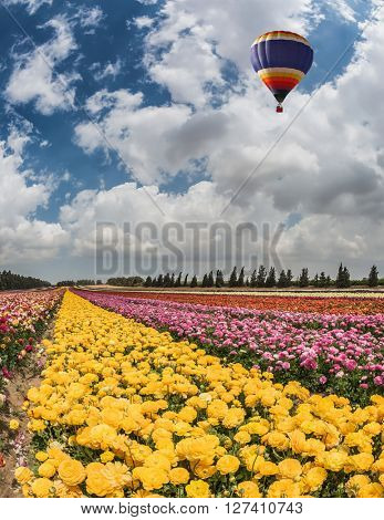 Great multi-colored balloon flies over flower field. Spring flowering buttercups. Flower kibbutz near Gaza Strip