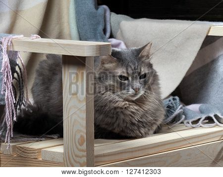 Portrait of a gray cat. The cat lies on a wooden chair and rug. Purebred cat, fluffy with green eyes