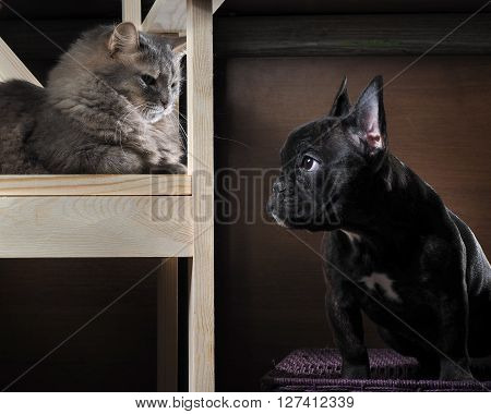 Cat and dog. Grey Cat, Fluffy, sitting on a chair. Thoroughbred Dog - French Bulldog.