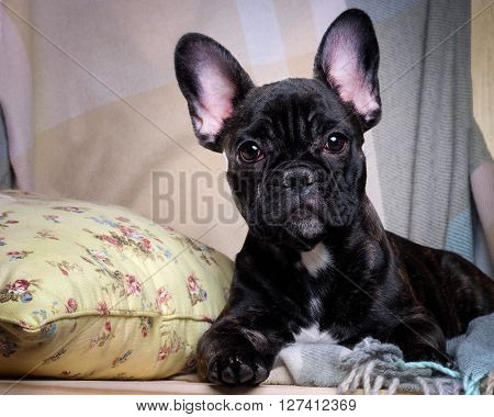 Dog comfortably on the bed. The dog is black, thoroughbred - French bulldog. Big Dog Muzzle