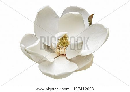 Southern magnolia (Magnolia grandiflora). Called Evegreen Magnolia Bull Bay Bullbay Magnolia Laurel Magnolia and Loblolly Magnolia also. Close up image of flower isolated on white background