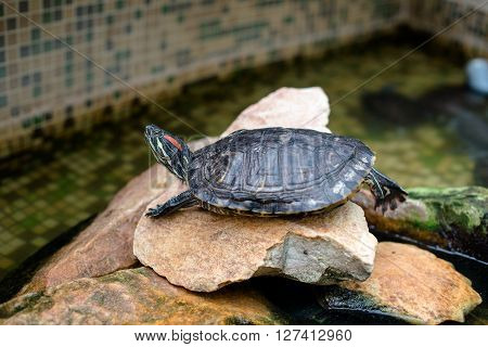 Pond slider(Trachemys scripta) sitting on the stone