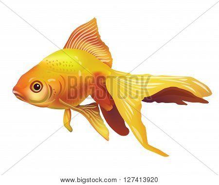 Realistic Vector Goldfish Illustration . Isolated On White Background Icon