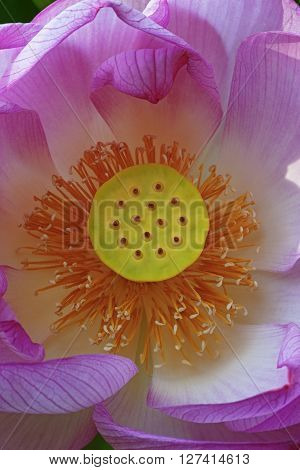 Sacred lotus (Nelumbo nucifera). Called Indian Lotus Bean of India and Lotus also. Close up image of flower