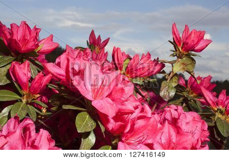 Bright pink and red flowers on an azalea bush in the spring