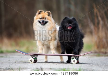 two spitz dogs standing on a skateboard