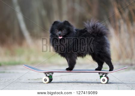 adorable spitz dog standing on a skateboard