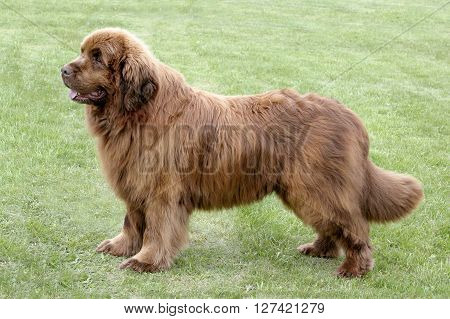 Typical Brown Newfoundland dog in the spring garden