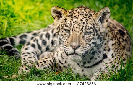 Small jaguar cub in the green grass