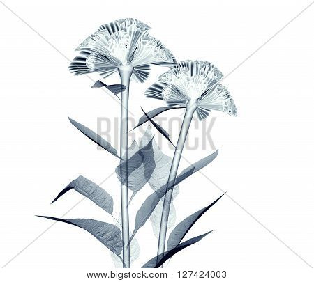 X-ray Image Of A Flower Isolated On White , The Coxcomb