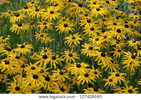 A bed of yellow Rudbeckia flowers with black centres. Background of leaves of the same plants.