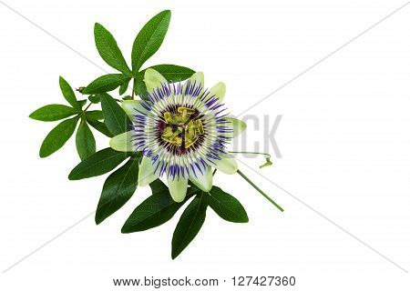 Passiflora or Passion Flower. Homeopathic plant isoalted on white