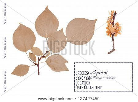 Herbarium of pressed parts apricot tree. Leaves twigs and tree flowers apricot isolated on white