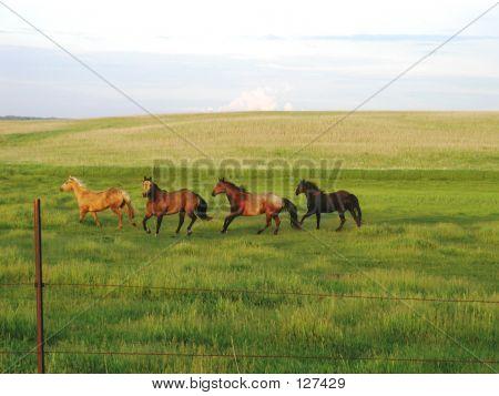Horses Running In Pasture